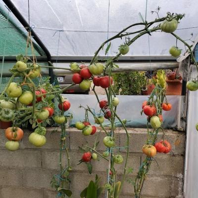 Tomates chez mr laplaine 1  1