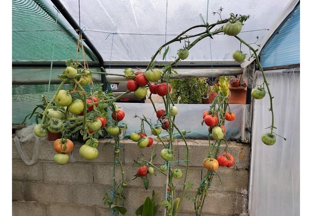 Tomates chez mr laplaine 1