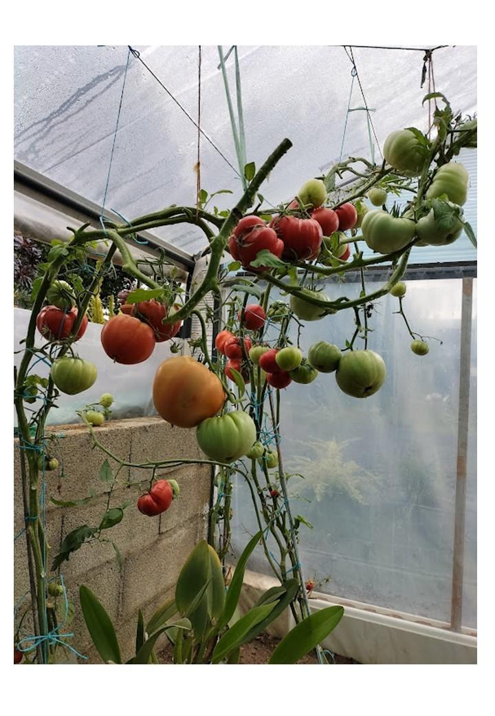 Tomates chez mr laplaine 2 1