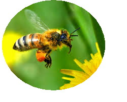Images abeille